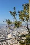 Drzewo oliwne na Lycabettus wzgórzu w Ateny, Grecja Fotografia Royalty Free