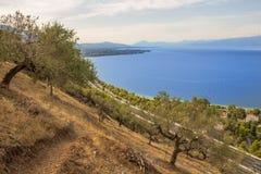 drzewo oliwne ocean i pole zdjęcia stock