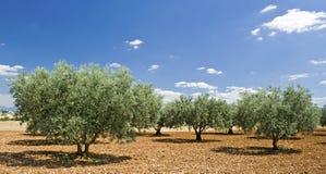 Drzewo oliwne od Provence. Francja. Zdjęcie Royalty Free