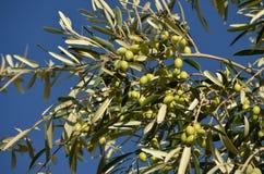 drzewo oliwne oddziału Zdjęcie Stock
