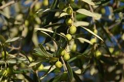 drzewo oliwne oddziału Zdjęcie Royalty Free