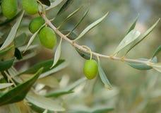 drzewo oliwne oddziału Obraz Royalty Free