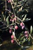 drzewo oliwne oddziału Obrazy Royalty Free