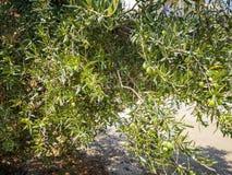Drzewo oliwne, oliwka w dal zdjęcia royalty free