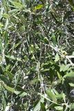 Drzewo oliwne owoc Obrazy Stock