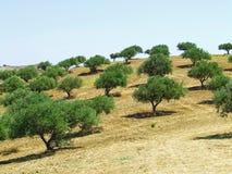 drzewo oliwne pola Zdjęcia Royalty Free