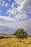 drzewo oliwne pola Fotografia Royalty Free