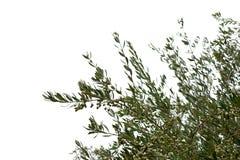 Drzewo oliwne rozgałęzia się z oliwkami Obraz Royalty Free