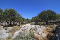 Drzewo oliwne sad Fotografia Stock