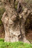 drzewo oliwne stary bagażnik Zdjęcia Royalty Free