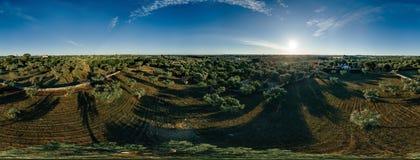 Drzewo oliwne w śródpolnym lecie w sunnyApulla Włochy trutniu 360 VR obrazy stock