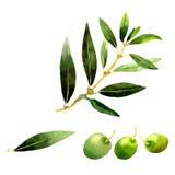 Drzewo oliwne w akwarela stylu odizolowywającym Obraz Stock