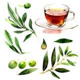 Drzewo oliwne w akwarela stylu odizolowywającym Zdjęcie Stock