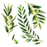 Drzewo oliwne w akwarela stylu odizolowywającym Zdjęcie Royalty Free