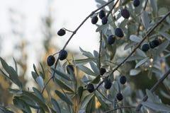 Drzewo oliwne w jesień Zdjęcia Stock