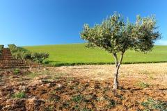 Drzewo oliwne w kwiacie Obrazy Royalty Free