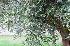 Drzewo oliwne z oliwkami na gałąź Drzewo oliwne w Włochy obraz stock