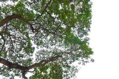Drzewo opuszcza przedpole odizolowywającego na białym tle dla, rozgałęzia się i parka lub ogródu W górę zewnętrznego naturalnego  obraz stock
