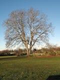 drzewo orzecha zdjęcia royalty free