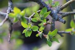 Drzewo pączki i starzy liście zdjęcie royalty free