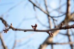 Drzewo pączki przychodzą żywego i nabrzmiałego drzewa Fotografia Royalty Free