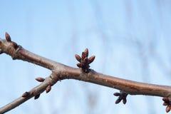 Drzewo pączki przychodzą żywego i nabrzmiałego drzewa Fotografia Stock