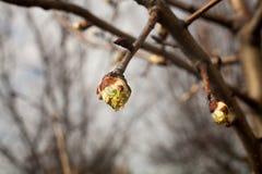 Drzewo pączki przychodzą żywego i nabrzmiałego drzewa Zdjęcie Stock