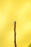 Drzewo pączki przychodzą żywego i nabrzmiałego drzewa Obraz Royalty Free