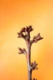 Drzewo pączki przychodzą żywego i nabrzmiałego drzewa Zdjęcia Royalty Free