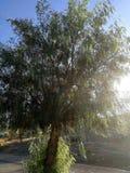 Drzewo peruvian Obraz Stock