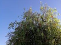 Drzewo peruvian Zdjęcie Stock