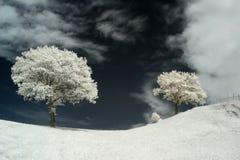 drzewo podczerwieni Obraz Royalty Free
