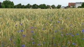 drzewo pola dzień lata gorąca pola pszenicy krajobrazu wiejskiego zbiory wideo
