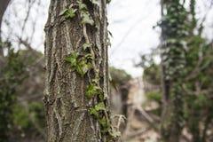 Drzewo przerastający z bluszczem obrazy royalty free
