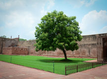 Drzewo przy Agra fortem w Agra, India Obrazy Stock