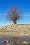Drzewo przy brzeg Rhine Rhein zdjęcie stock