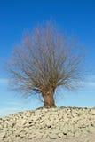 Drzewo przy brzeg Rhine Rhein zdjęcia stock