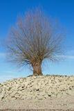 Drzewo przy brzeg Rhine Rhein obrazy stock
