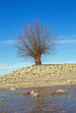 Drzewo przy brzeg Rhine Rhein zdjęcia royalty free