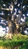 Drzewo przy rose bowl parady biurem Obraz Stock