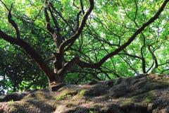 Drzewo przy WU porady KUK Hong kong Obraz Royalty Free