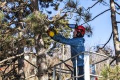Drzewo przycina mężczyzna z piłą łańcuchową, stoi na machinalnej platformie na dużej wysokości między gałąź austriackie sosny, Zdjęcie Stock