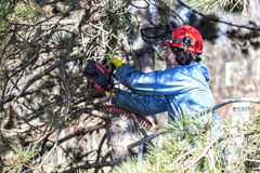 Drzewo przycina mężczyzna z piłą łańcuchową, stoi na machinalnej platformie na dużej wysokości między gałąź austriackie sosny, Zdjęcia Stock