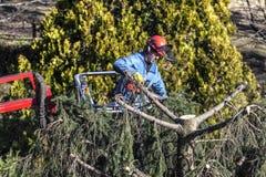 Drzewo przycina mężczyzna z piłą łańcuchową, stoi na machinalnej platformie na dużej wysokości między gałąź jodła, Zdjęcia Royalty Free