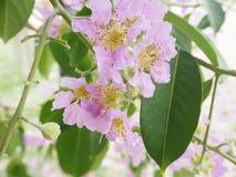 drzewo różowa trąbka Zdjęcie Stock