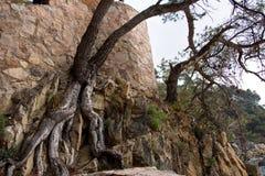 Drzewo r na kamiennej skale Obraz Royalty Free