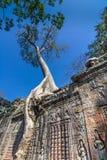 Drzewo r nad Ta Prohm świątynią, Kambodża zdjęcie stock