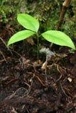 drzewo rosnące Obraz Royalty Free
