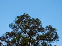 Drzewo rozgałęziający się na niebieskim niebie Obrazy Royalty Free