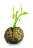 drzewo samotny nasieniodajny mały bliźniak Obraz Stock